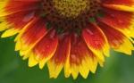 Sunflower-flower-macro-close-up_1920x1200
