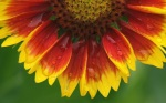 Sunflower-flower-macro-close-up_1920x1200
