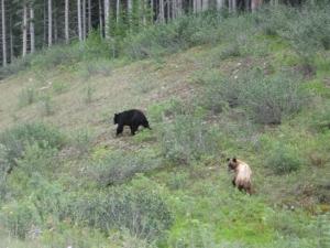 Banff-KananaskisBears-Canmore-8-10 034
