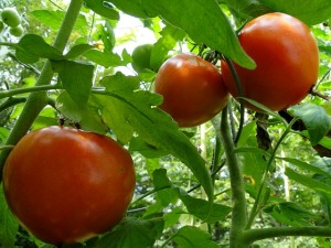 tomatoes-tomato-vine-red-garden-plant-growing