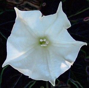 Moon-Flower-in-Full-Bloom