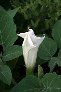 Moon-Flower2