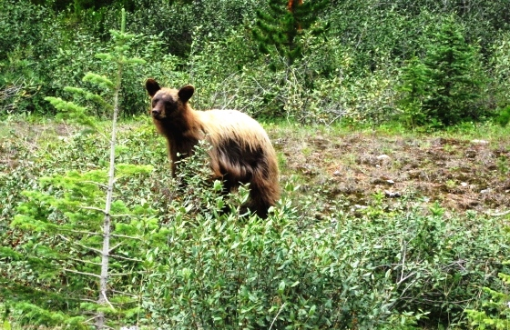 Banff-KananaskisBears-Canmore-8-10 053
