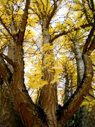 Leaves, Irv. walk 007