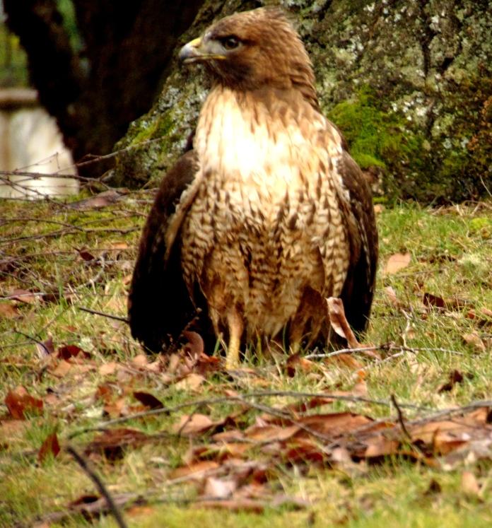 Spring signs, hawk 039