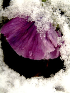 Flowers, some with snow 102
